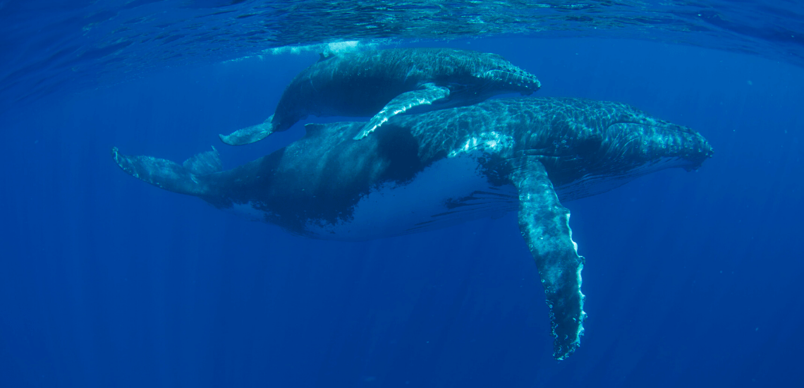 https://tahititourisme.ch/wp-content/uploads/2018/03/mooreaactivitiescenterwhaleswatching_1140x550-min.png