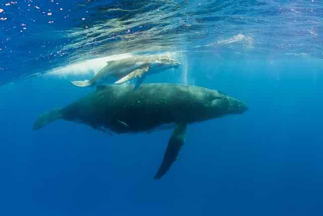https://tahititourisme.ch/wp-content/uploads/2019/04/Bora-Bora-Humpback-Whales.jpeg