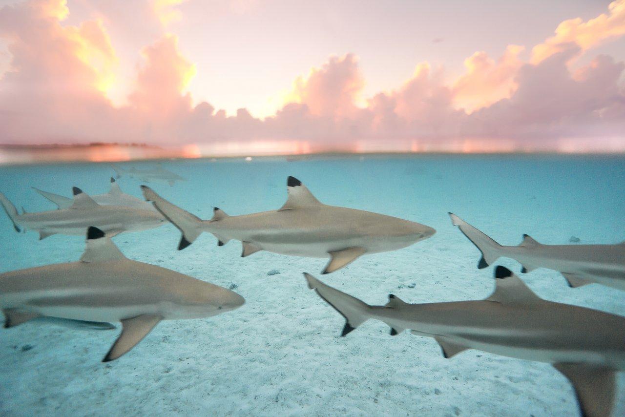 https://tahititourisme.ch/wp-content/uploads/2020/06/blacktip-reef-shark-sunset.jpg