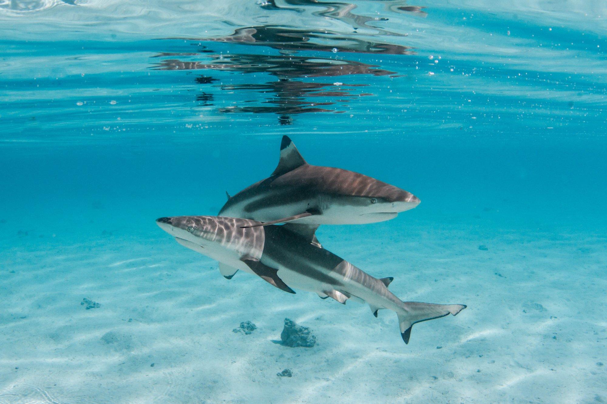 https://tahititourisme.ch/wp-content/uploads/2020/06/deux-magnifiques-requins.jpg